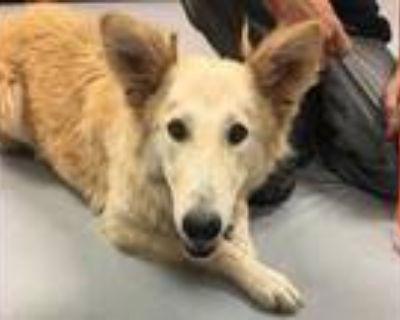 Adopt 48210417 a Red/Golden/Orange/Chestnut Shepherd (Unknown Type) / Golden