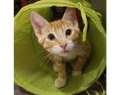 Adopt Ragnar a Orange or Red Domestic Shorthair / Domestic Shorthair / Mixed cat