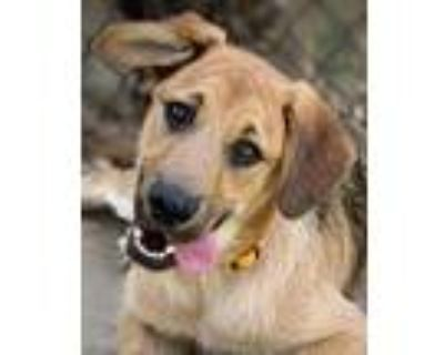 Adopt Champ von Clausthal a Tan/Yellow/Fawn - with Black German Shepherd Dog /