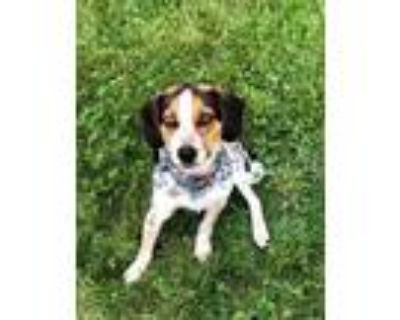 Adopt Paxton - Fostered in Lincoln a Beagle, Mixed Breed