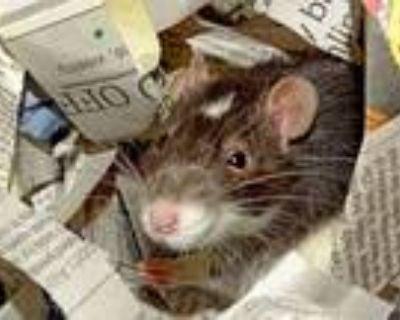 Adopt ATKAR a Rat