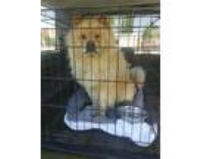 Adopt Leo has a new rescue now a Chow Chow