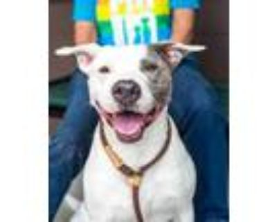 Adopt Ward a White Mixed Breed (Large) / Retriever (Unknown Type) / Mixed dog in