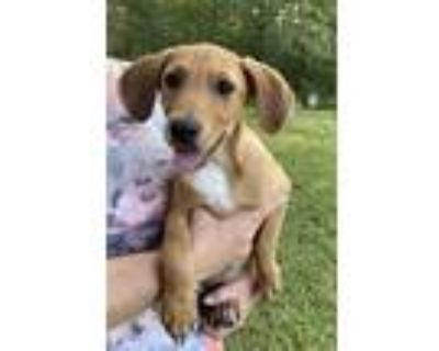 Adopt Canasta Girl - Game litter of 8 a Hound (Unknown Type) / Labrador