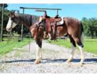 FLASHY BLUE EYED Bay Roan Ranch Horse Gelding!