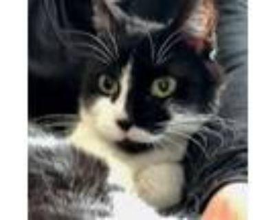 Adopt Cora (aka Corazon) a American Shorthair