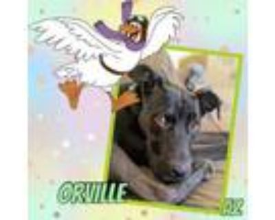 Adopt Orville a Great Dane, Staffordshire Bull Terrier