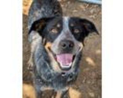 Adopt Olay a Australian Cattle Dog / Blue Heeler