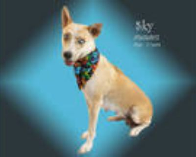 Adopt Dog a Tan/Yellow/Fawn - with White Australian Cattle Dog / Mixed dog in