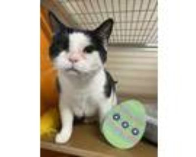 Adopt Sheila a White Domestic Shorthair / Domestic Shorthair / Mixed cat in