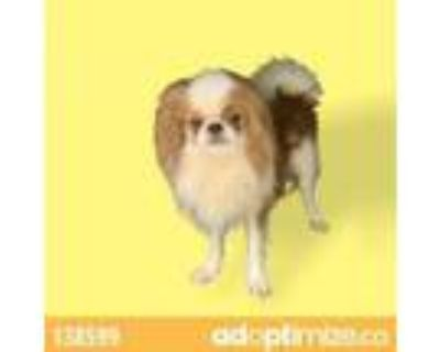 Adopt Berry a Japanese Chin