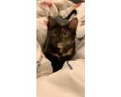 Adopt Lucy a Tortoiseshell Domestic Shorthair / Mixed (short coat) cat in
