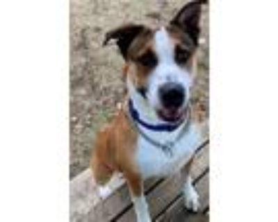 Adopt Bella a Australian Cattle Dog / Blue Heeler, Boxer