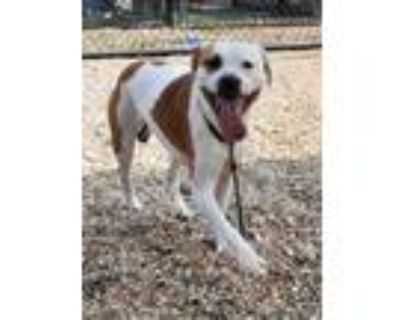 Adopt 48106256 a Pit Bull Terrier, Mixed Breed