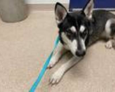 Adopt *POLINA a Black - with White Husky / Mixed dog in Bakersfield