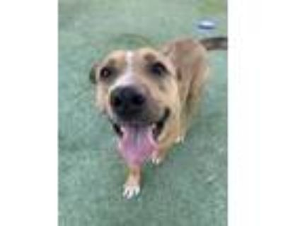Adopt Juicebox a Tan/Yellow/Fawn American Pit Bull Terrier / Pembroke Welsh