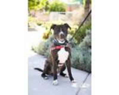 Cal, American Pit Bull Terrier For Adoption In Albuquerque, New Mexico