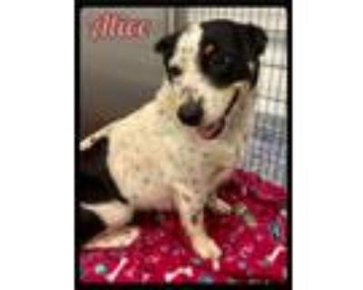 Adopt Alice - 2107199 / 2021 a Corgi, Australian Cattle Dog / Blue Heeler