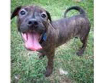 Adopt Andrew DeLuca a Labrador Retriever