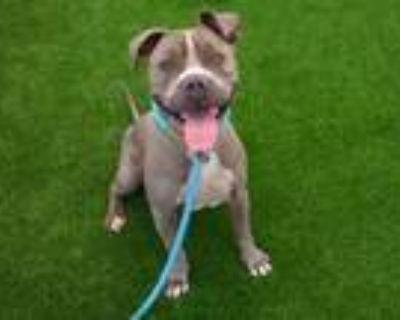 Adopt BLEU a Pit Bull Terrier, Shar-Pei