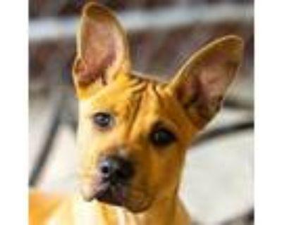 Adopt Scrappy Doo a Tan/Yellow/Fawn Labrador Retriever / Mixed dog in Decatur