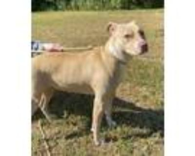 Adopt Tangerine a Mixed Breed (Large) / Pit Bull Terrier / Mixed dog in