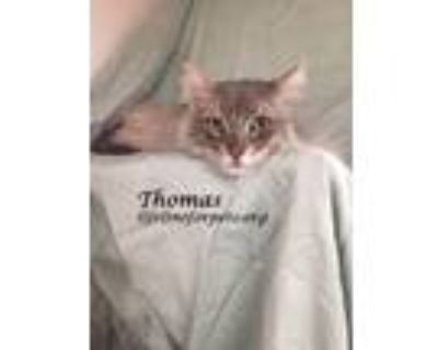 Adopt Beautiful THOMAS (& Twyla) a Gray or Blue Domestic Longhair (long coat)