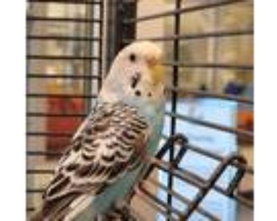 Adopt Jessie a Parakeet (Other)