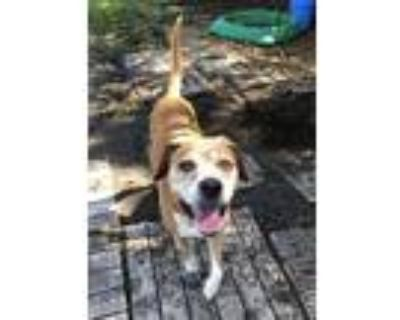 Adopt Leo a Tan/Yellow/Fawn - with White Boxer / Mixed dog in Newport