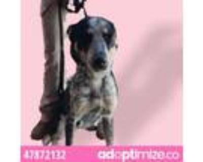 Adopt 47872132 a Australian Cattle Dog / Blue Heeler, Mixed Breed