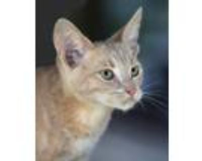 Adopt Desert a Domestic Shorthair / Mixed (short coat) cat in North Fort Myers