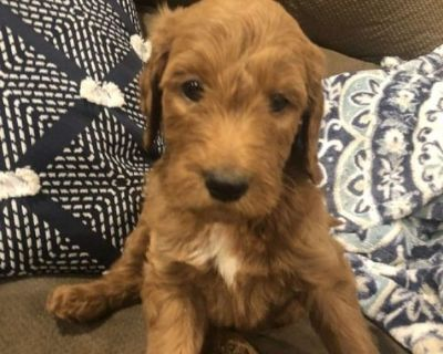 Finn Goldendoodle Puppy