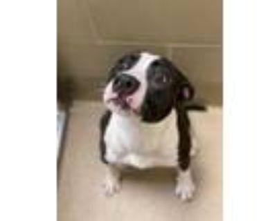 Adopt Navi a Black Boxer / Mixed dog in Newport News, VA (31407469)
