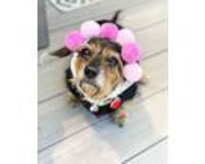 Adopt Yuba a Wirehaired Dachshund
