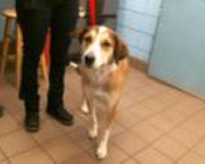 Adopt WIGGLES a Australian Cattle Dog / Blue Heeler, Mixed Breed