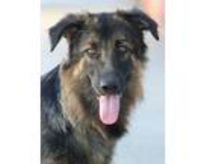 Adopt Mia von Mitach a Black - with Tan, Yellow or Fawn German Shepherd Dog /
