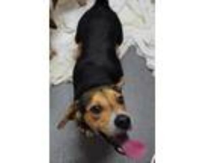 Adopt Woodford a Brown/Chocolate Beagle / Mixed dog in Williamsburg