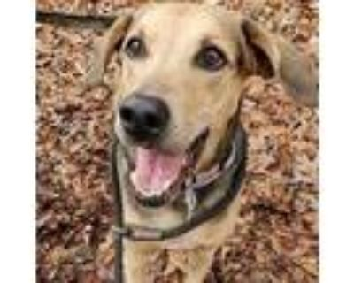 Adopt Cami a Brown/Chocolate Catahoula Leopard Dog / Mixed dog in Decatur