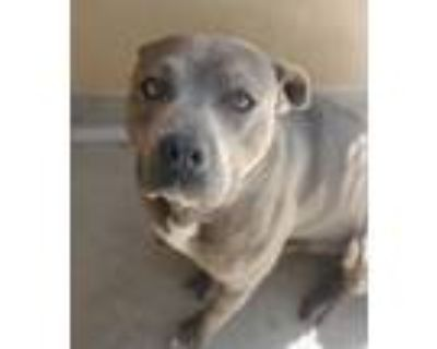 Adopt Beef Tank a Pit Bull Terrier