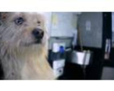 Adopt a Tan/Yellow/Fawn Norfolk Terrier / Mixed dog in Charlotte, NC (32072868)