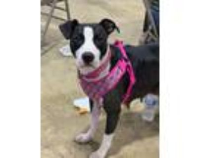 Adopt Bella mom to the litter of 9 a Black - with White Pit Bull Terrier /