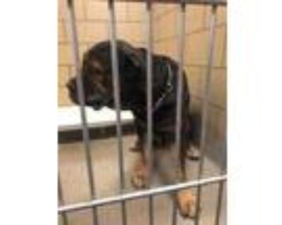 Adopt 48290518 a Black Cane Corso / Mixed dog in Mesquite, TX (32037402)