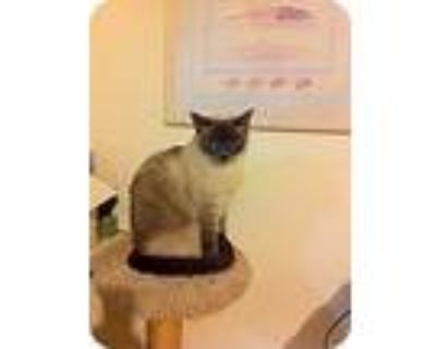 Paxton, Siamese For Adoption In Los Angeles, California