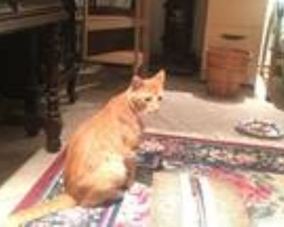 Adopt Mr. Red a Orange or Red American Shorthair / Mixed (short coat) cat in