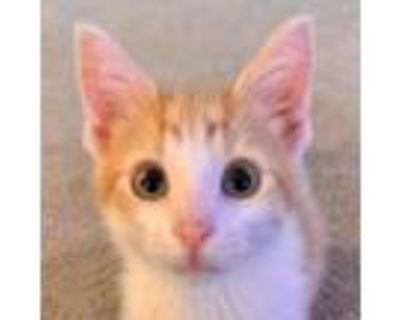 Adopt Goldfish a White Domestic Shorthair / Mixed cat in West Olive
