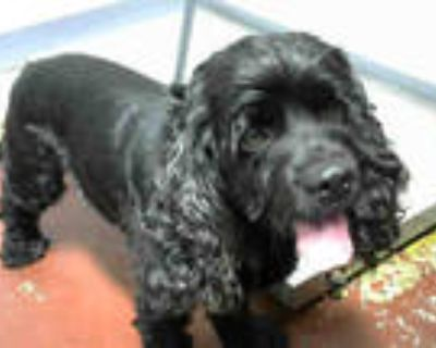 Adopt CURLEY a Black Cocker Spaniel / Mixed dog in Atlanta, GA (30930855)