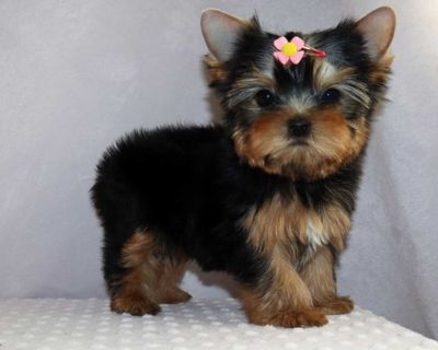 magnanimous Yorkie puppies ready