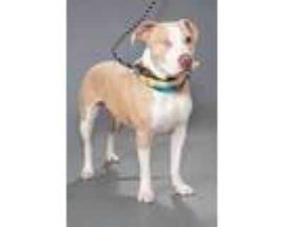 Adopt Bailey a Tan/Yellow/Fawn American Pit Bull Terrier / Mixed dog in