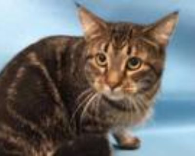 Adopt Mew a Brown or Chocolate Domestic Shorthair / Mixed cat in Woodbury