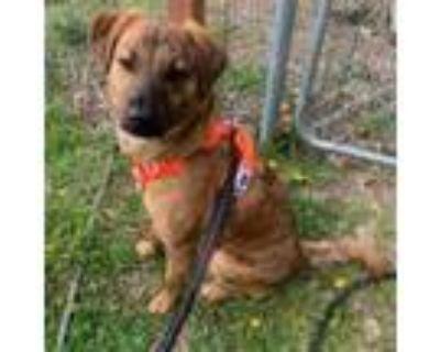 Adopt Scout a Hound, Labrador Retriever
